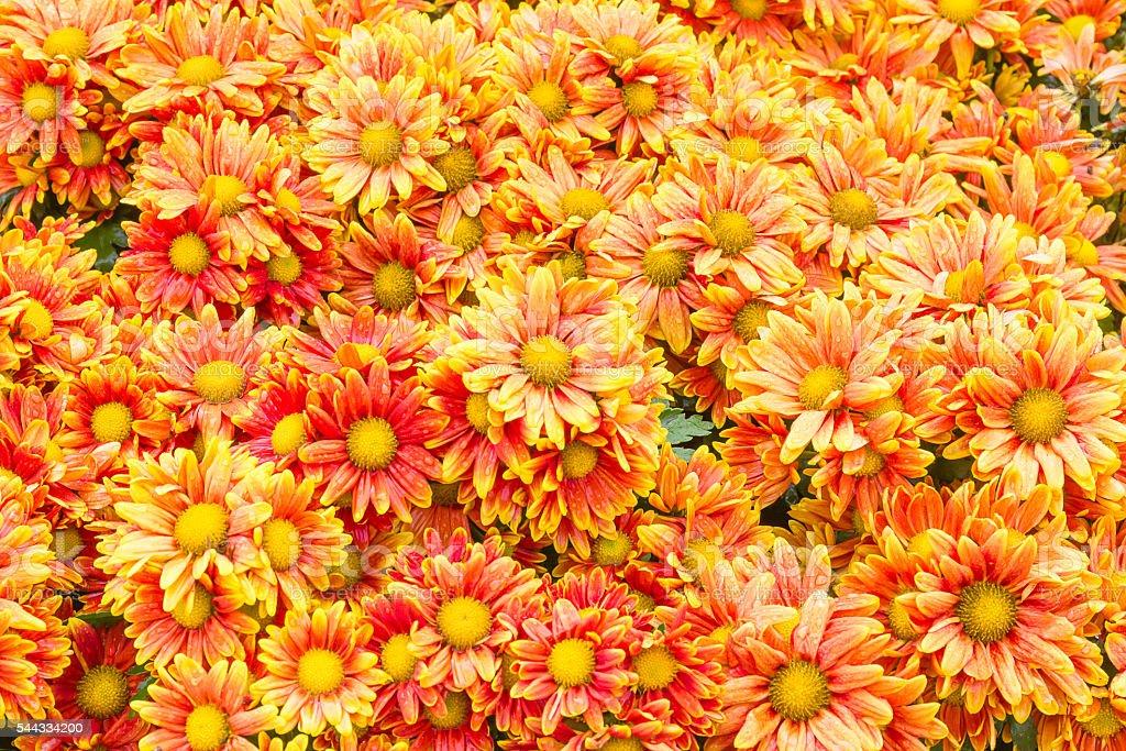 Orange Chrysanthemum flowers in garden stock photo