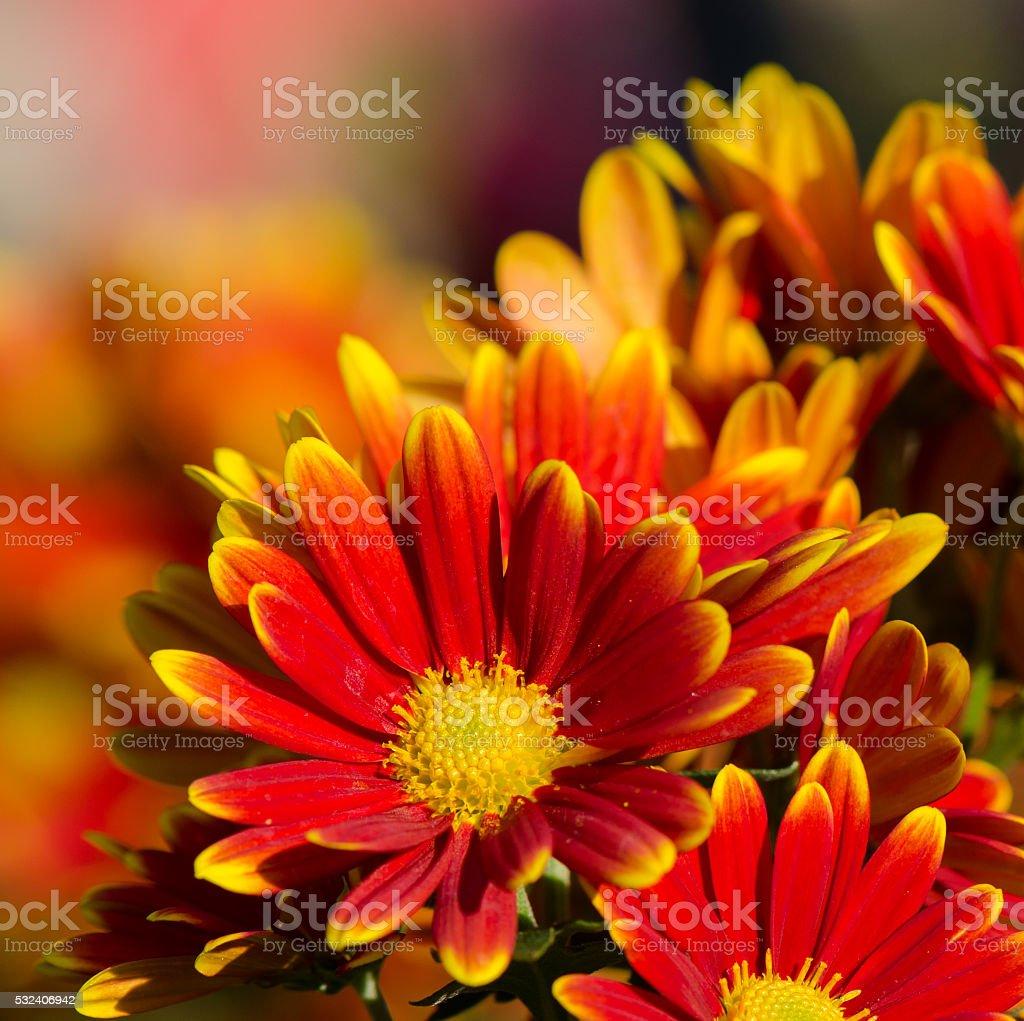 Crisantemo flores naranja - foto de stock
