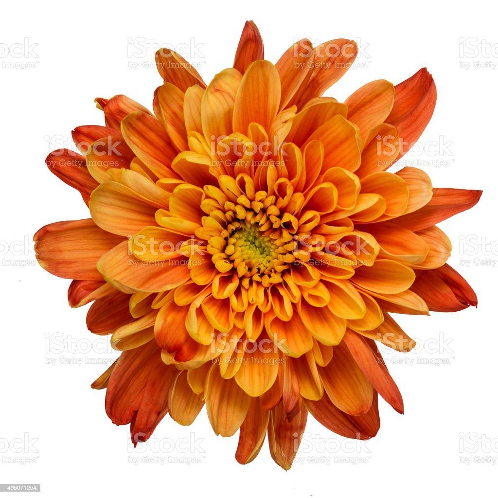 Orange chrysanthemum isolated stock photo
