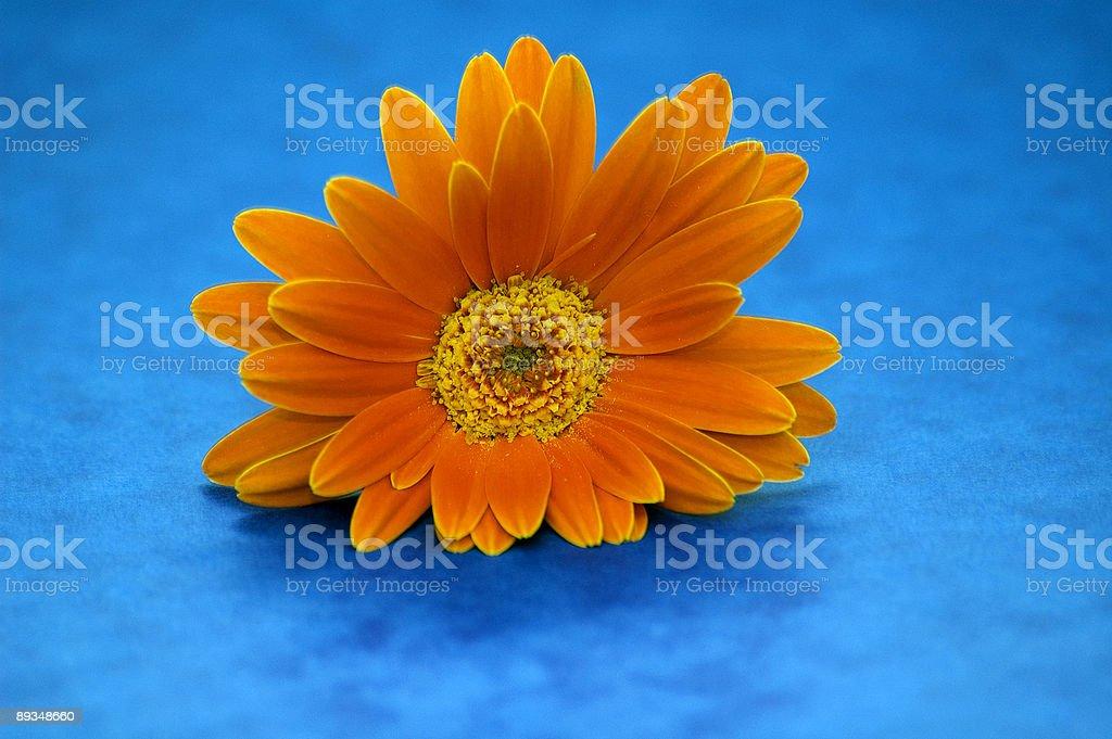 Orange chrysanthemum royalty-free stock photo