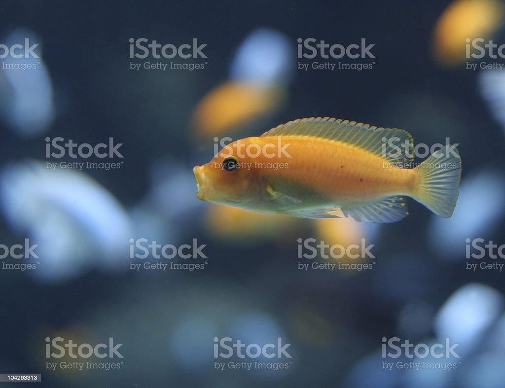Orange Cichlid stock photo