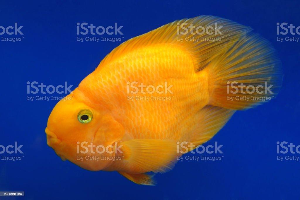 Orange Cichlid (parrot) stock photo