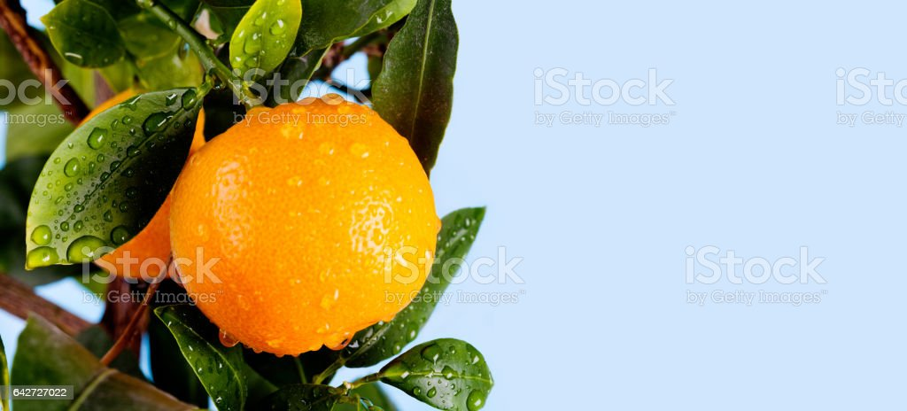 Orange citrus mandarin fruit branch with water drops on green leaves. Summer time garden photo. Blue sky background, sunny day. Copy space, closeup - foto stock