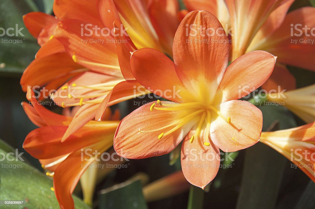 Orange Clivia Lily stock photo