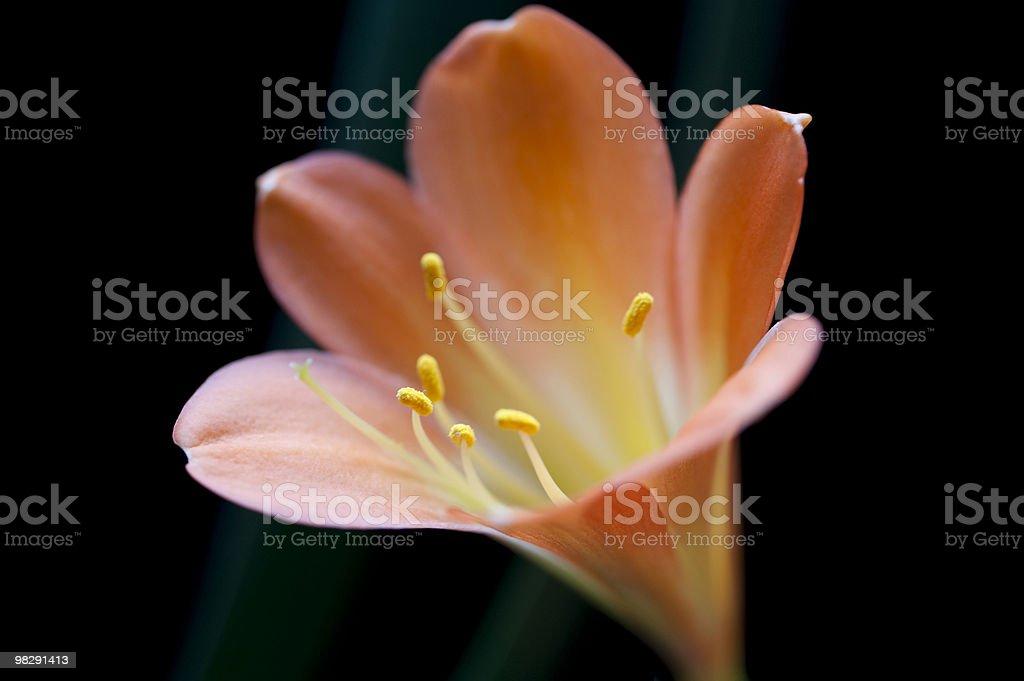 Orange Clivia Lily royalty-free stock photo