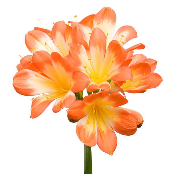 Orange Clivia Miniata stock photo