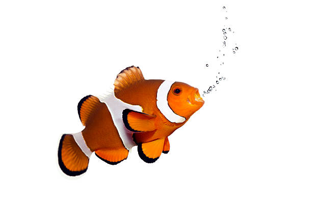 orange clown fish and bubbles on white anemonefish stock pictures, royalty-free photos & images