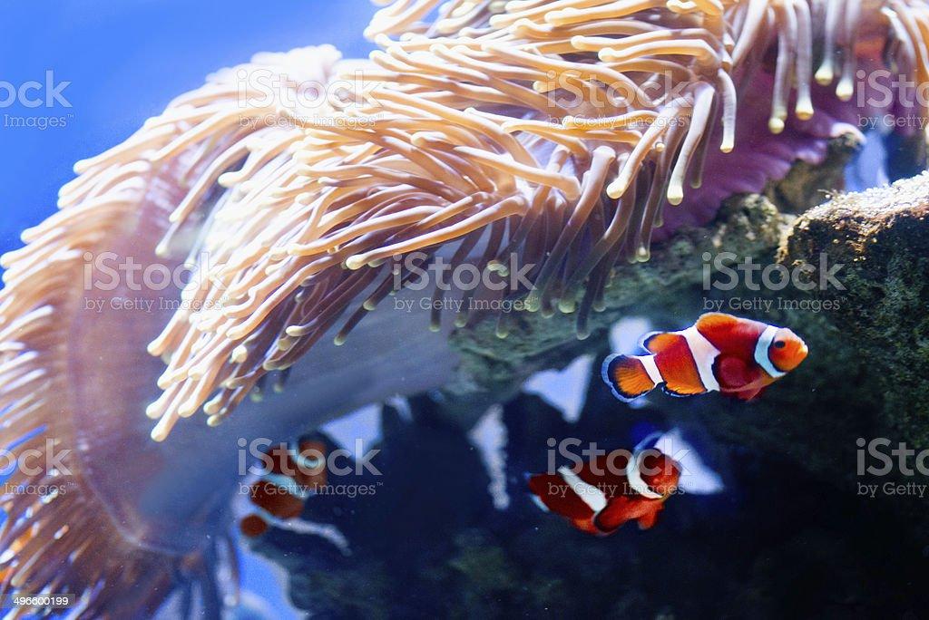Orange clownfish stock photo