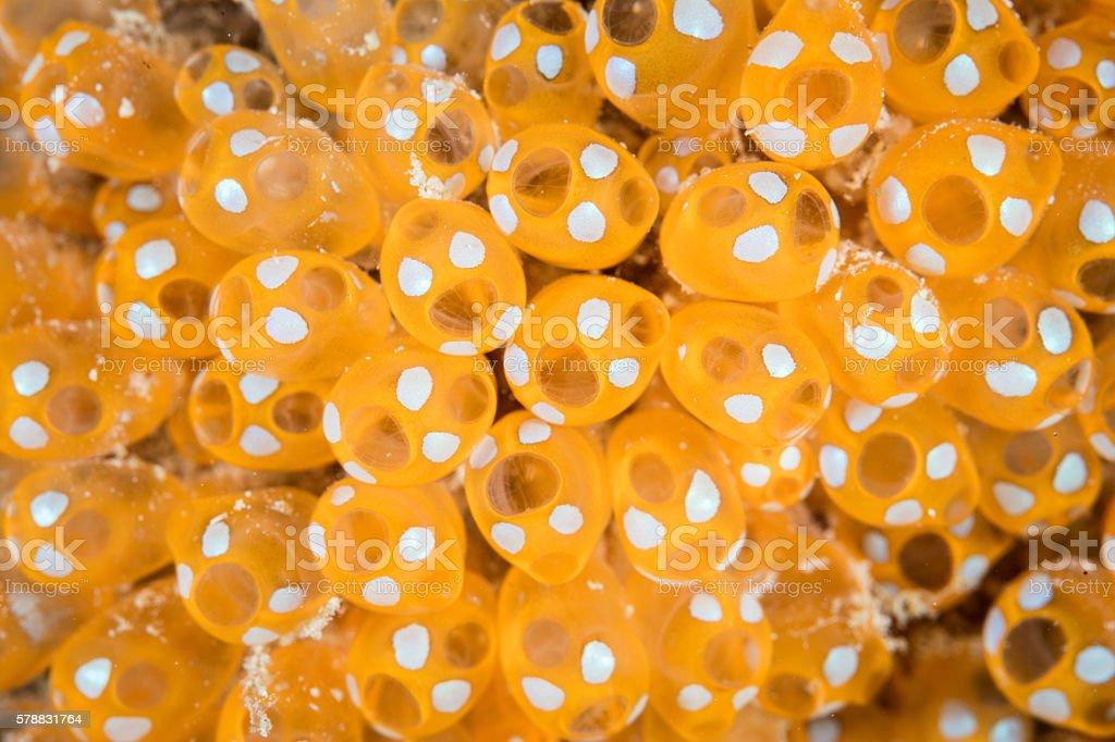 Orange Colonial Tunicates stock photo