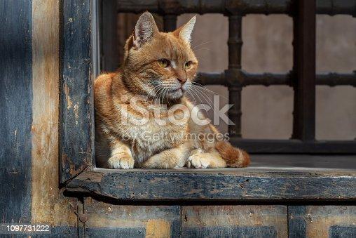 Orange color cat sitting in front of an old vintage window of historic house of Mostafa Gaafar El Selehdar, Cairo, Egypt