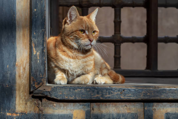 Orange color cat sitting in front of an old vintage window stock photo