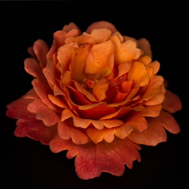 Orange color rose flower isolated on the black stock photo