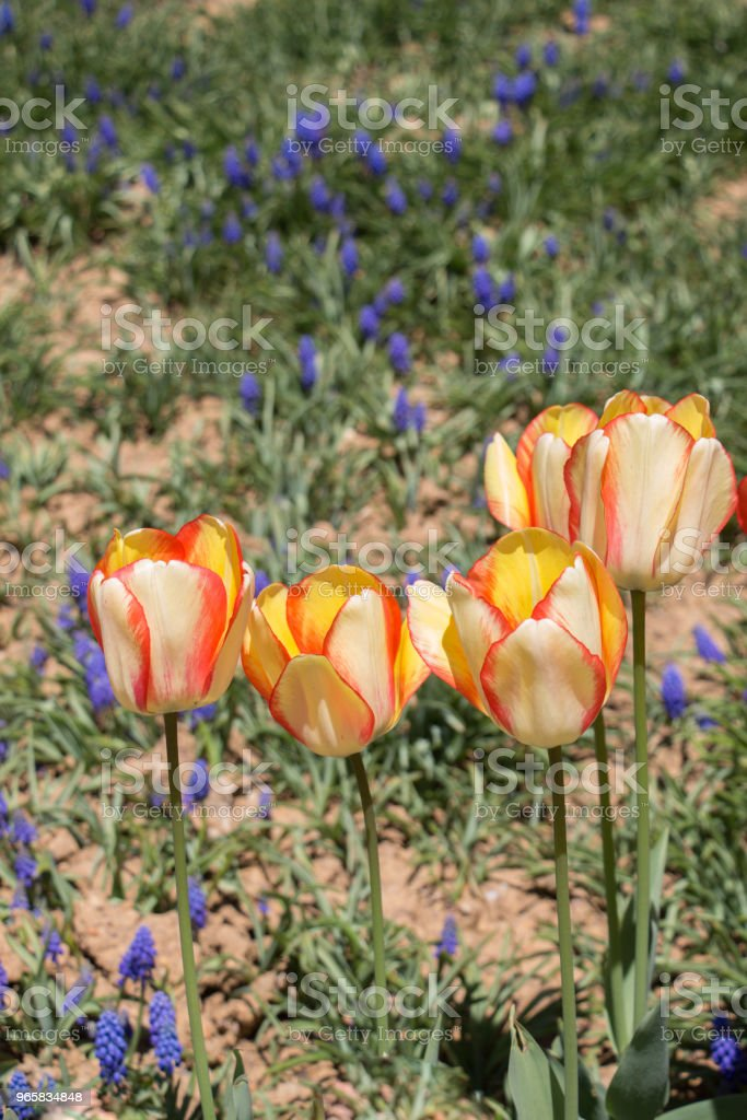 Orange color Tulips Bloom in Spring - Royalty-free Agricultural Field Stock Photo