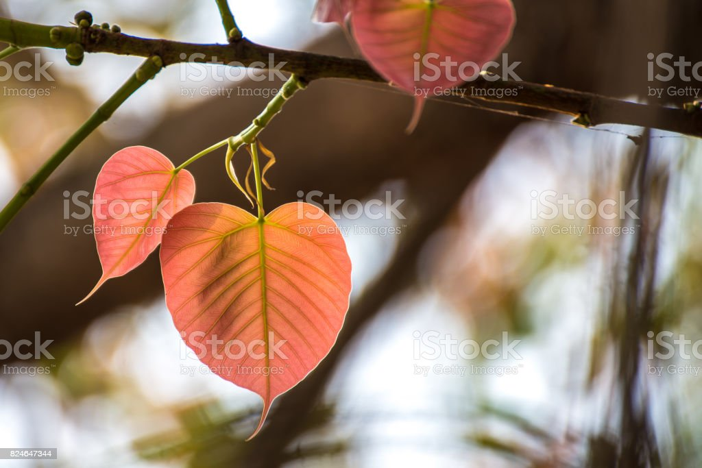Orange color young heart-shaped leaves on bodhi tree stock photo