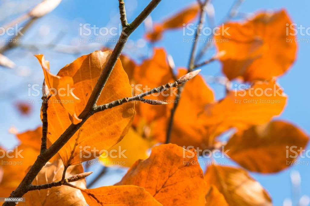 Orange colored autumn leaves on a tree stock photo