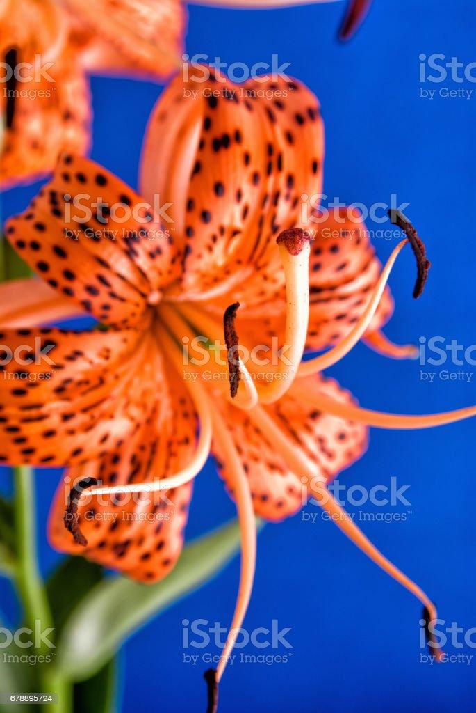 Turuncu renkli Türkler Lily çiçek kap royalty-free stock photo