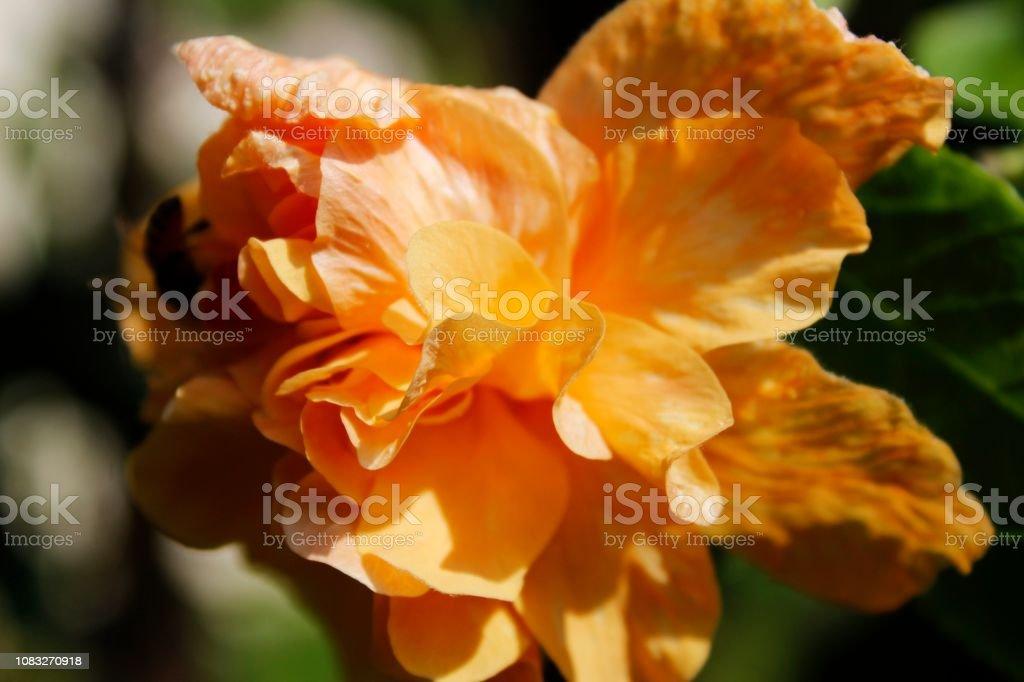 Orange colour hibiscus in bloom in garden, natural sunlight ,India