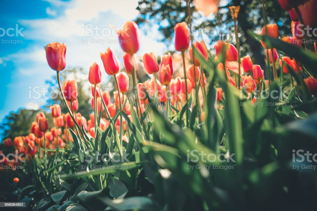 orange colour tulips in the park with blue sky in netherland