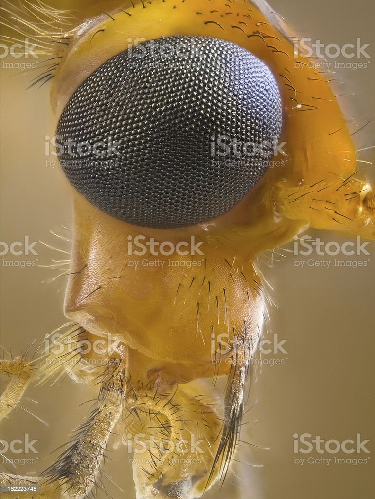 Orange coloured Crane fly portrait royalty-free stock photo