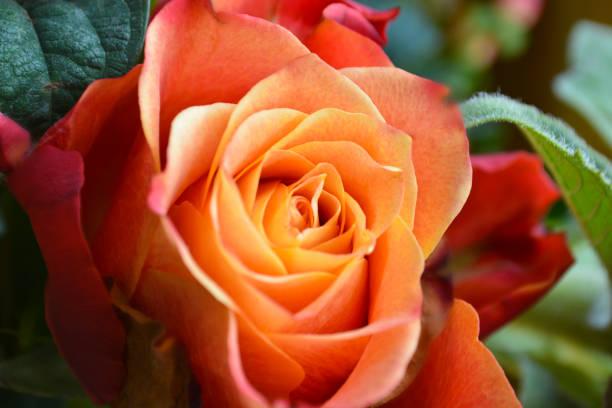 Orange Coloured Rose Close Up stock photo