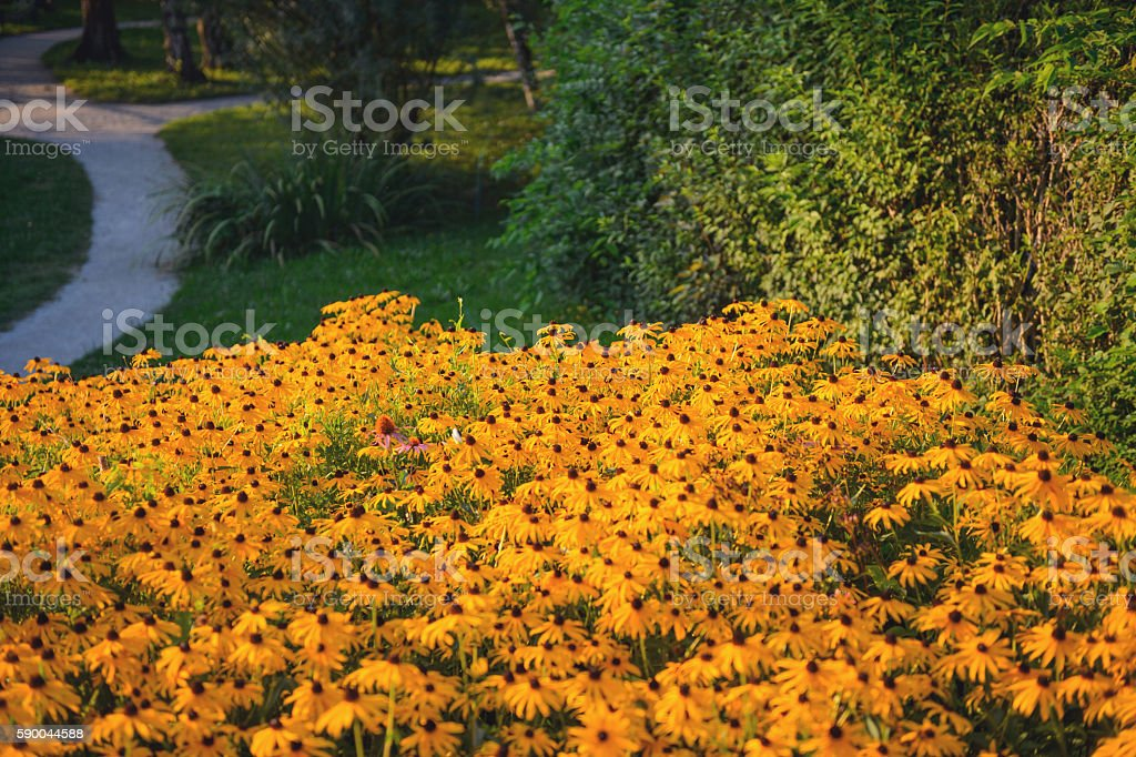 Orange Coneflower stock photo