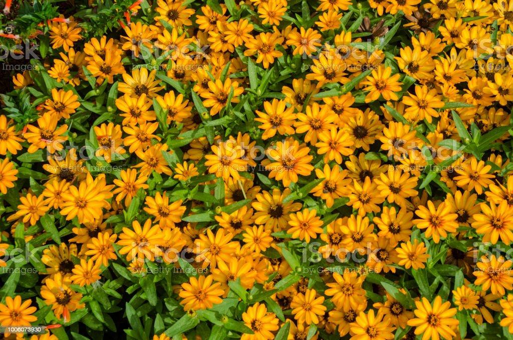 Orange Coreopsis as a Summer Background stock photo