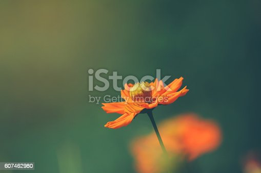 Orange cosmos flower in summer
