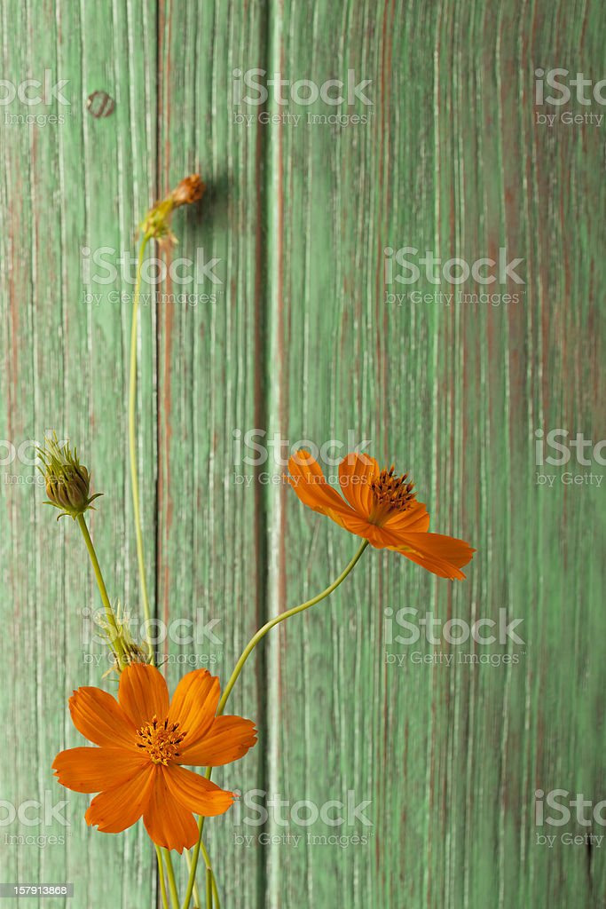 Orange Cosmos flowers and an old window shutter. royalty-free stock photo