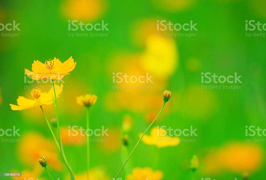 Orange Cosmos Flowers royalty-free stock photo