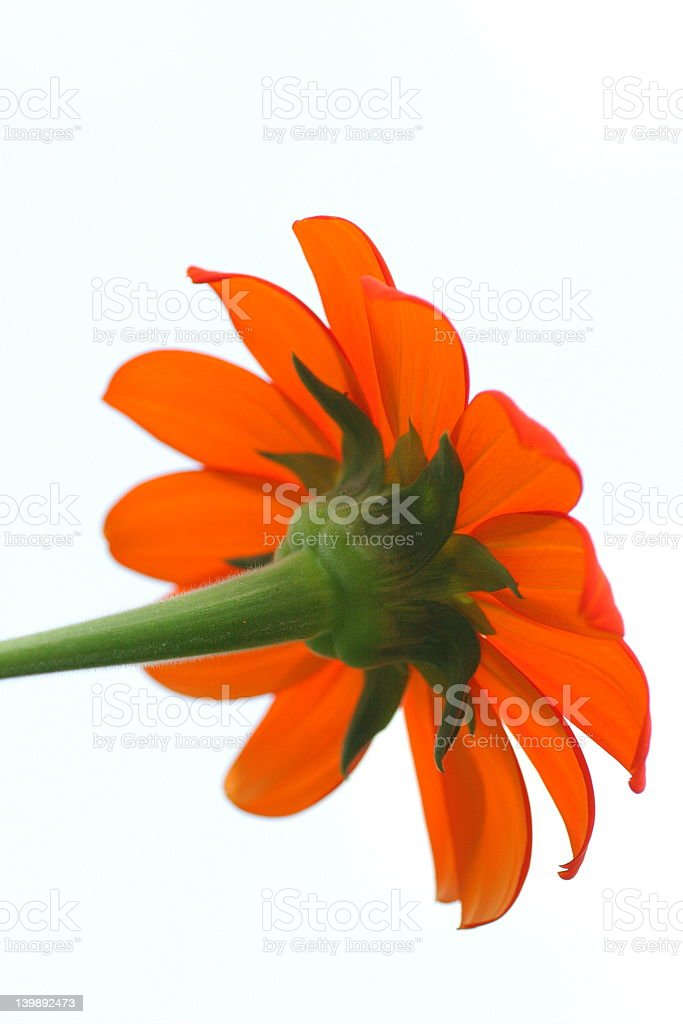 Orange Cosmos on Stem royalty-free stock photo