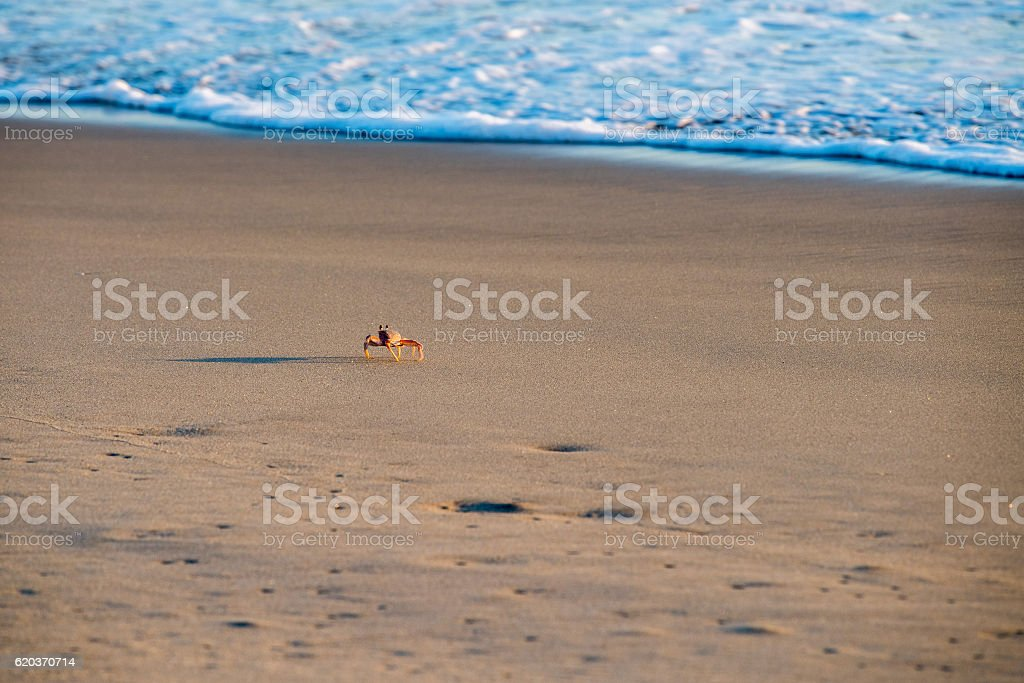 orange crab on pacific ocean sandy beach foto de stock royalty-free