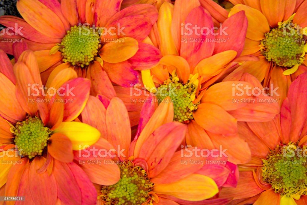 Orange Crazy Daisie mums, horizontal full frame. stock photo