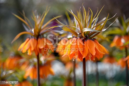 Orange Crown Imperial flowers against a blur flower background under a sunny day light