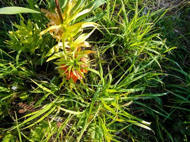 orange crown imperial blumen (fritillaria imperialis) im freien - imperialismus stock-fotos und bilder