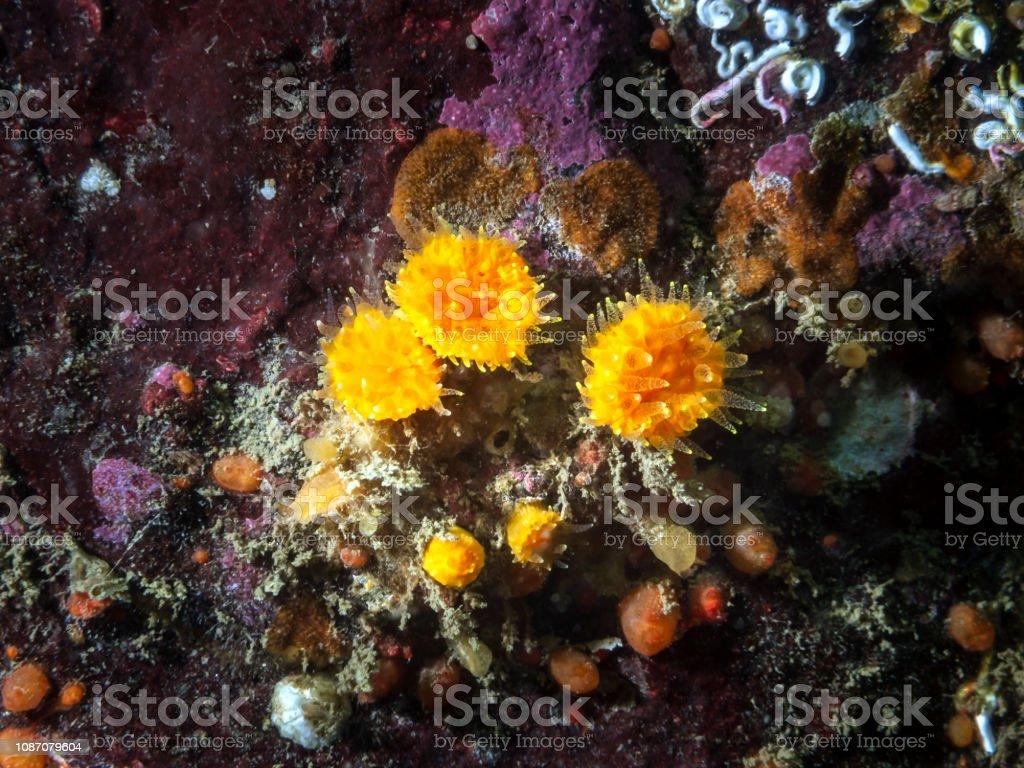 Orange Cup Coral (Balanophyllia elegans) stock photo