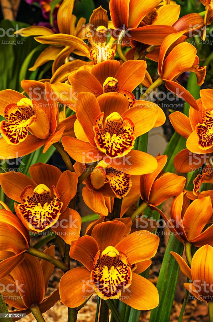 Orange Cymbidium stock photo