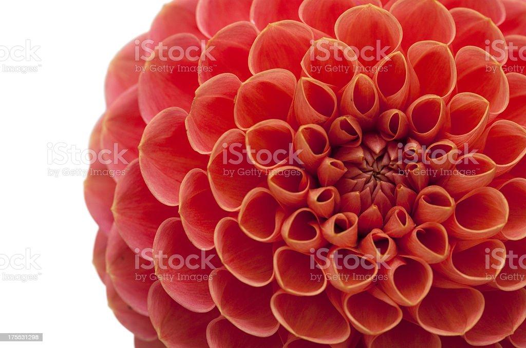 Orange Dahlia Flower Close Up royalty-free stock photo