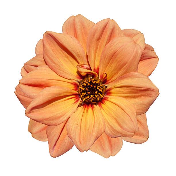 Orange dahlia flower isolated on white background picture id146922217?b=1&k=6&m=146922217&s=612x612&w=0&h=xfmza8jf7tmwsxj5yaxodxgdh5c4mk1yg18mua9rzbs=