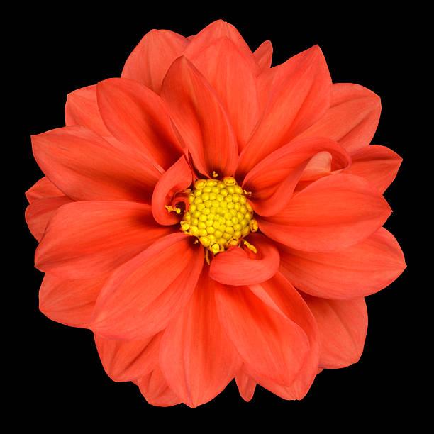 Orange dahlia flower with yellow center isolated picture id153575788?b=1&k=6&m=153575788&s=612x612&w=0&h=foz2mcfi8f8pmuw4dvkfx4dsd mty929xx8v9j9l 3q=