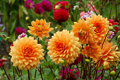 Orange dahlias in the garden among other flowers