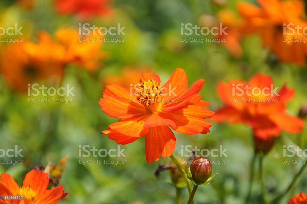 Orange Daisy - Cosmos Sulfureus stock photo