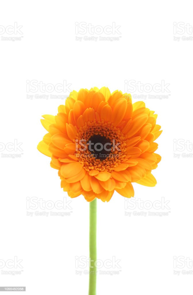 Orange daisy gerbera flower on white background