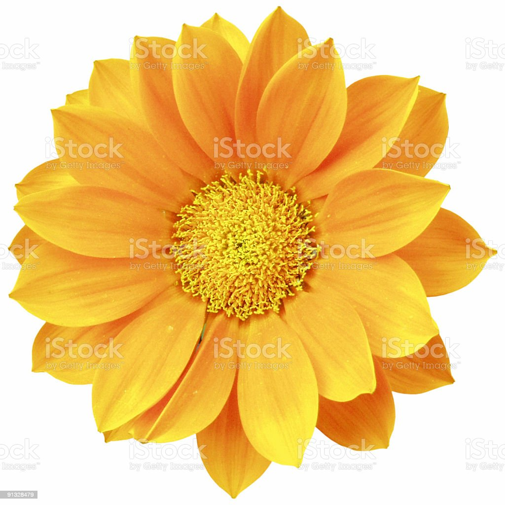 Orange daisy isolated stock photo