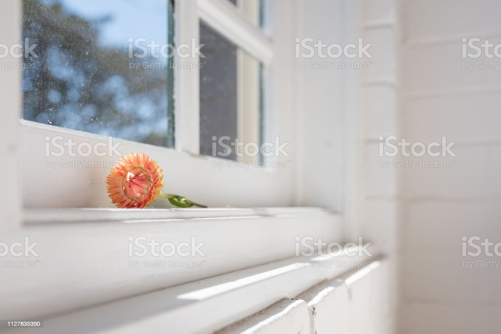 Close up of orange everlasting daisy on white window sill with copy...