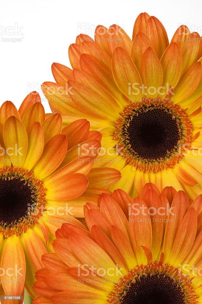 Orange Daisy Trio stock photo