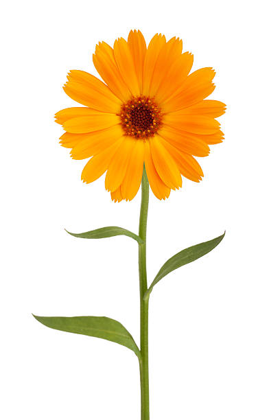 Orange daisy with long stem Orange daisy with long stem on white background single flower stock pictures, royalty-free photos & images
