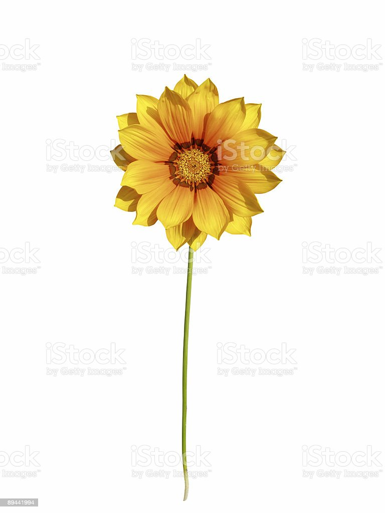 Orange daisy with stem royalty-free stock photo