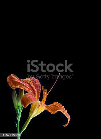 Fresh flower head of orange day lily against black background. Tranquility scene in beautiful vertical photo. With a lot of space for text. For cards, ...