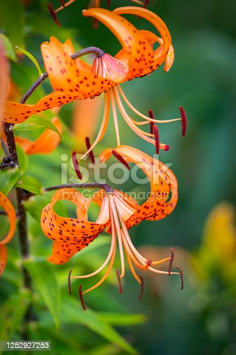 Close-up of a large orange Day lily.