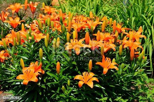Orange Day Lily background